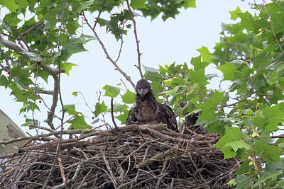 Photograph - Eaglets In The Nest 6 by Susan Rissi Tregoning