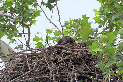 Photograph - Eaglets In The Nest 7 by Susan Rissi Tregoning