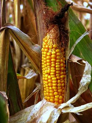 Photograph - Ear Of Corn by Kyle West