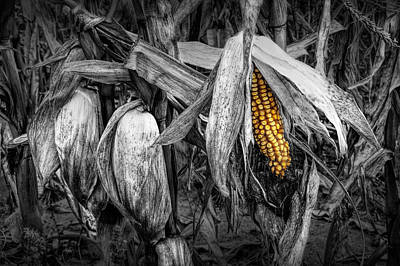 Photograph - Ear Of Yellow Corn by Randall Nyhof