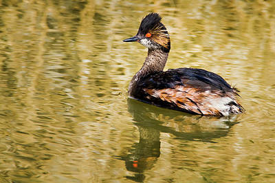 Photograph - Eared Grebe On Golden Pond by Craig Strand