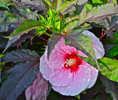 Photograph - Early August Hibiscus 2 by Janis Nussbaum Senungetuk