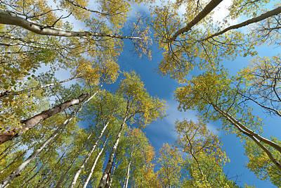 Photograph - Early Autumn Aspen Canopy by Cascade Colors