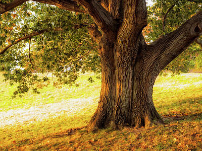 Photograph - Early Autumn Oak by Marianne Campolongo