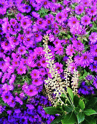 Photograph - Early Autumn Purple by Roger Bester