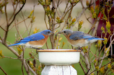 Bluebird Photograph - Early Bird Breakfast For Two by Bill Pevlor