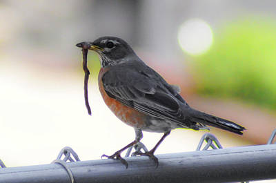 Photograph - Early Bird Gets The Worm - Robin Redbreast by Bill Cannon