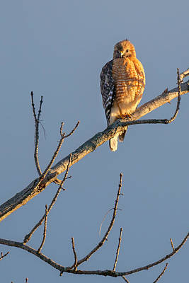 Red Shouldered Hawk Photograph - Early Bird Hawk by Bill Wakeley