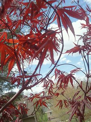 Early Bloodgood Maple Art Print