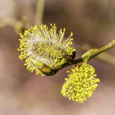 Photograph - Early Catkins by Nick Bywater