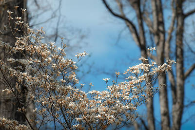 Devils Den Photograph - Early Dogwood by James Barber