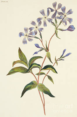 Early Spring Painting - Early Flowering Lychnidea by Margaret Roscoe