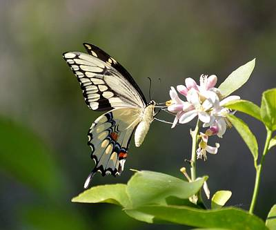 Photograph - Early Lemonade Giant Butterfly by rd Erickson