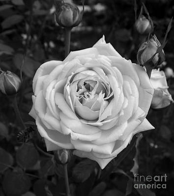 Photograph - Early Morn Rose by Sara Raber