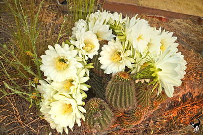 Photograph - Early Morning Barrel Cactus Blossoms 3 by Joyce Dickens