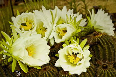 Photograph - Early Morning Barrel Cactus Blossoms 4 by Joyce Dickens