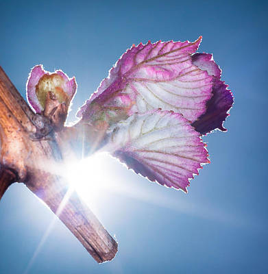 Photograph - Early Morning Bud Break by Len Romanick