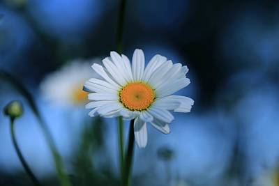 Photograph - Early Morning Daisy by Lynn Hopwood