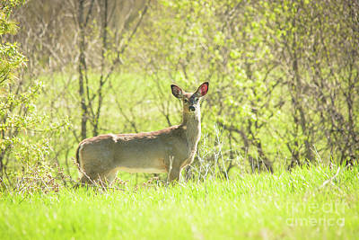 Photograph - Early Morning Deer by Cheryl Baxter