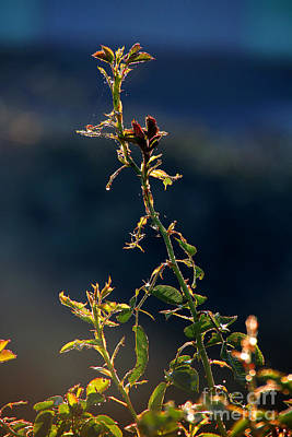 Photograph - Early Morning Dew, Sonoma County by Wernher Krutein