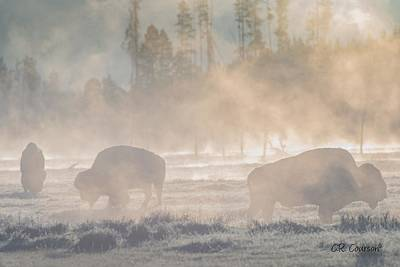 Photograph - Early Morning Grazing In The Fog by CR  Courson