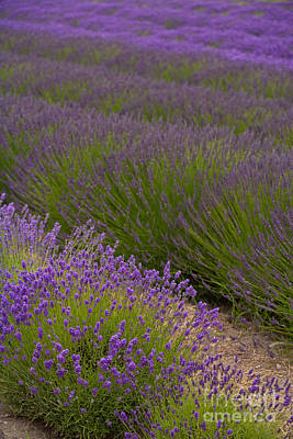 Early Morning Lavender Print by Mike Reid
