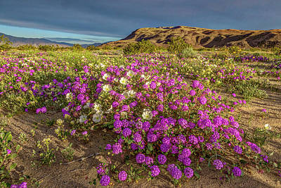 Early Morning Light Super Bloom Print by Peter Tellone