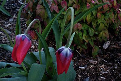 Early Morning Nodding Tulips Art Print by Douglas Barnett
