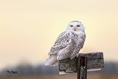Photograph - Early Morning Owl by Peg Runyan