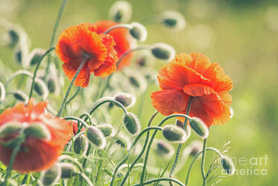 Photograph - Early Morning Poppies by Cheryl Baxter