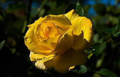Photograph - Early Morning Rose by Kenneth Albin