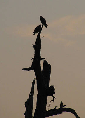 Mississippi Kite Photograph - Early Morning Silhouette by Donna Brown