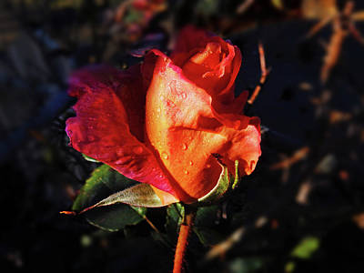 Photograph - Early Rose by Mark Blauhoefer