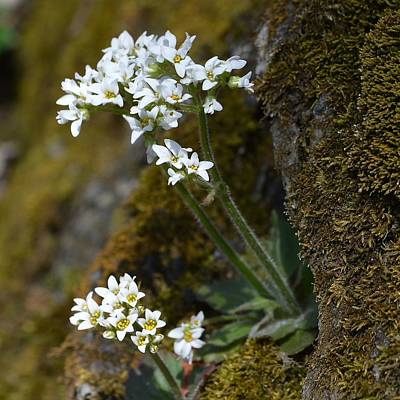 Photograph - Early Saxifrage by Tana Reiff