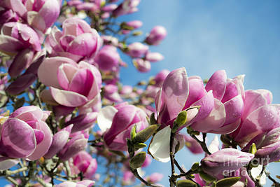 Photograph - Early Spring Magnolia by Angela DeFrias
