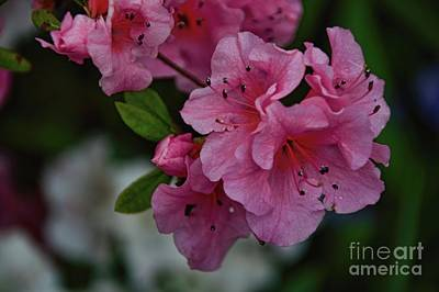 Photograph - Early Spring Pink by Diana Mary Sharpton