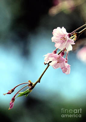 Photograph - Early Spring Weeping Cherry  by Janice Drew