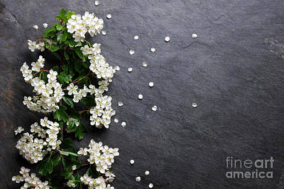 Photograph - Early Summer White  Flower Blossoms by Nicholas Burningham