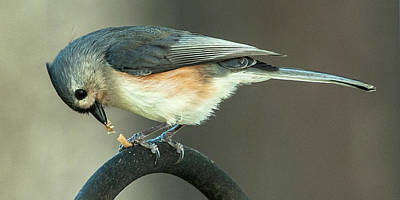 Photograph - Early Titmouse Gets The Worm by Jim Moore