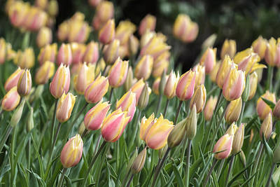 Photograph - Early Tulips by James Barber