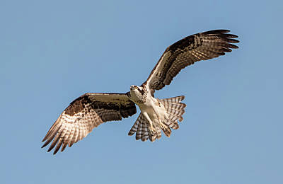 Photograph - Earnest Osprey by Loree Johnson