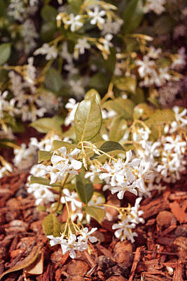 Photograph - Earth Tone Jasmine In Bloom by Aimee L Maher Photography and Art Visit ALMGallerydotcom