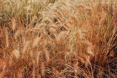 Photograph - Earth Tone Summer Wheat by Aimee L Maher ALM GALLERY