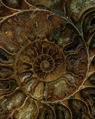 Photograph - Earth Treasures - Brown Amonite by Jaroslaw Blaminsky