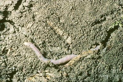 Earthworm Burrowing In Soil Art Print by John Kaprielian