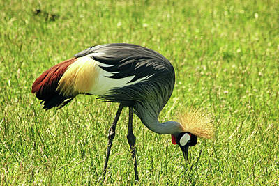 Photograph - East African Crowned Crane by Debbie Oppermann