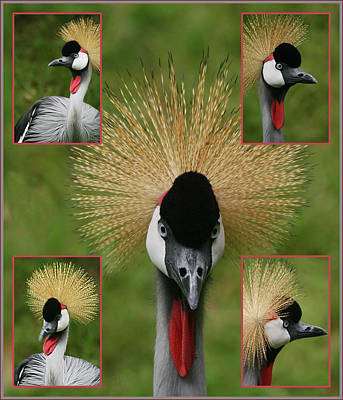 Photograph - East African Crowned Crane by Ericamaxine Price