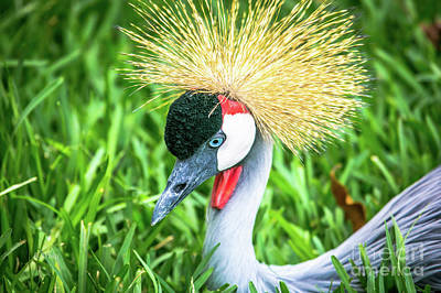 Photograph - East African Crowned Crane by Rene Triay Photography