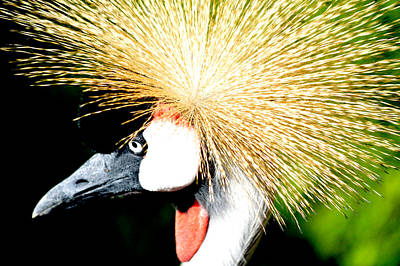Photograph - East African Crowned Crane by William Bartholomew