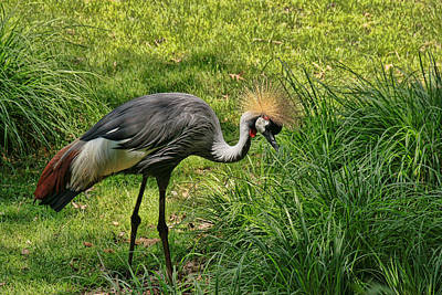 Photograph - East African Grey Crowned Crane by Allen Beatty